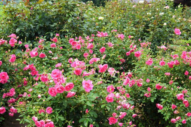 複数のバラ