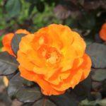 オレンジのバラ園