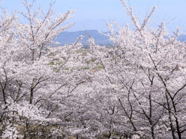 紅屋峠,桜